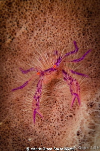Hairy Squadlobster (or Wally Crab) by Henrik Gram Rasmussen 